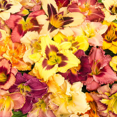 All Summer Daylily Value Collection