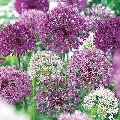 Giant Allium Mixed
