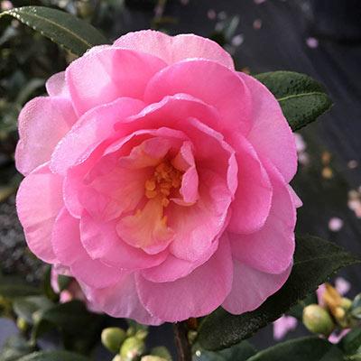 Fall Fantasy Camellia