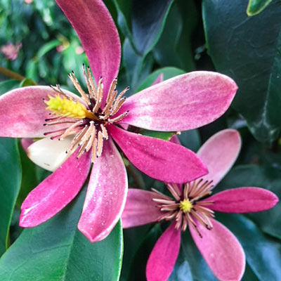 Stellar Ruby Magnolia