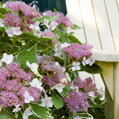 Light-O-Day® Hydrangea