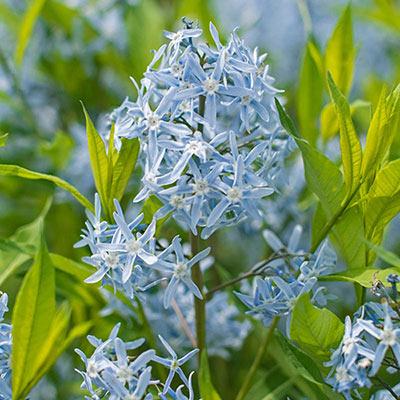 Glacier Blue Amsonia