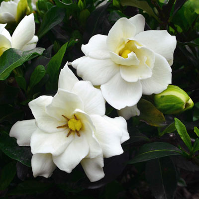 Sweet Tea™ Gardenia