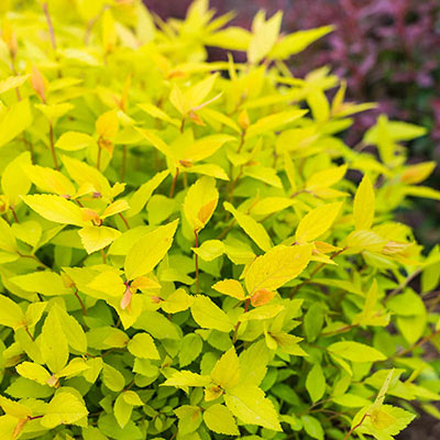 Lemon Princess Spirea