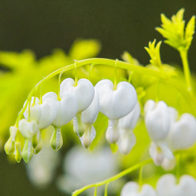 White Gold Bleeding Heart