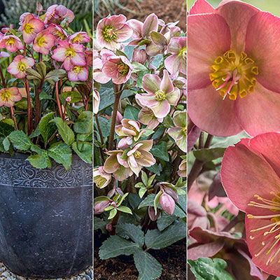 Frostkiss<sup>®</sup> Hellebore Assortment