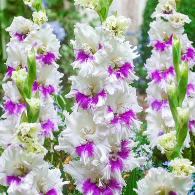 Kirov Gladiolus