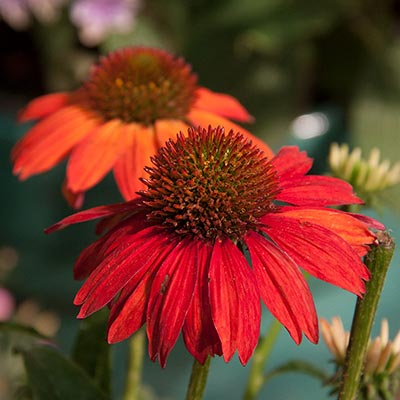 Sombrero<sup>®</sup> Salsa Red Coneflower