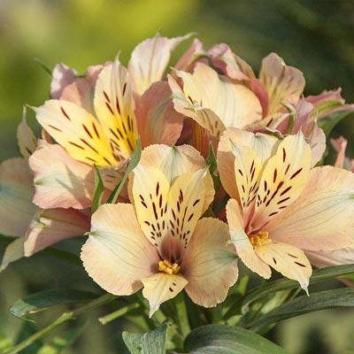 Inca Ice Peruvian Lily Spring Hill Nurseries