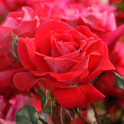 Take It Easy<sup>™</sup> Shrub Rose
