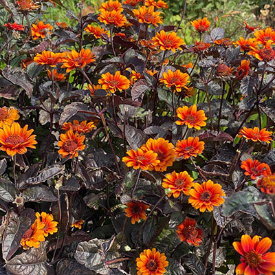 Red Shades Heliopsis