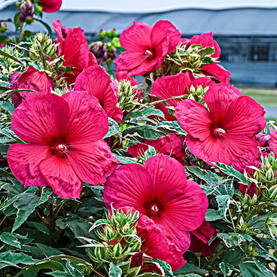 Summer Carnival Hibiscus