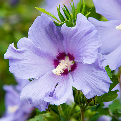 Hawaii™ Hibiscus
