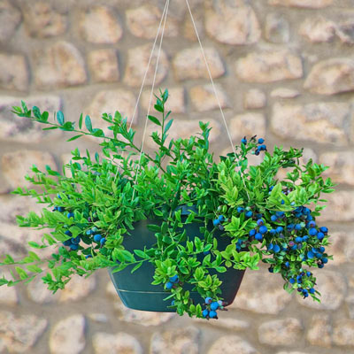 Midnight Cascade™ Hanging Blueberry