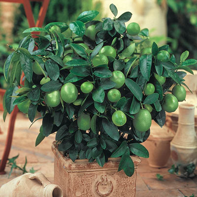 Spring Hill Nurseries Key Lime Tree 4