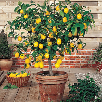 "Patio Orchard Meyer Lemon Tree 4"" Pot"