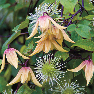 Lemon Bells Clematis