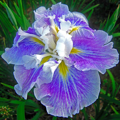 Angel Mountain Japanese Iris