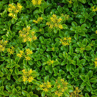 Improved Golden Sedum