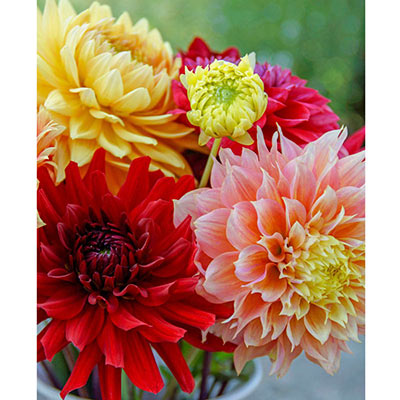Philadelphia Dinnerplate Dahlia Mix