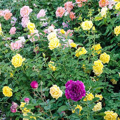 Summer Scent Rose Trio