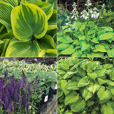 Whole Lotta Hosta Sampler
