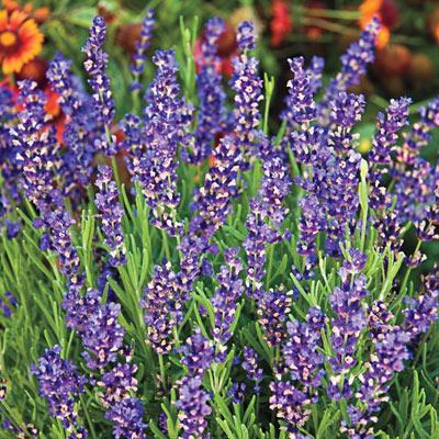 Hidcote Superior Lavender
