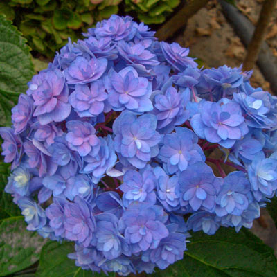 Forever and Ever™ Together Hydrangea