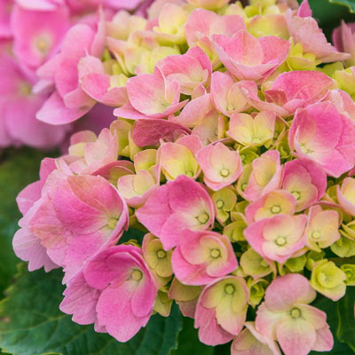 Early Sensation Forever and Ever<sup>®</sup> Hydrangea