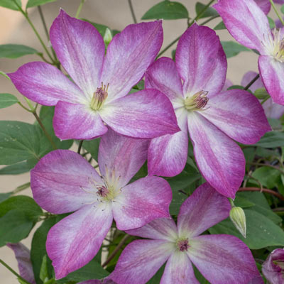 Pernille Clematis