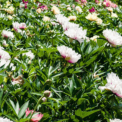 Itoh Peony Selection