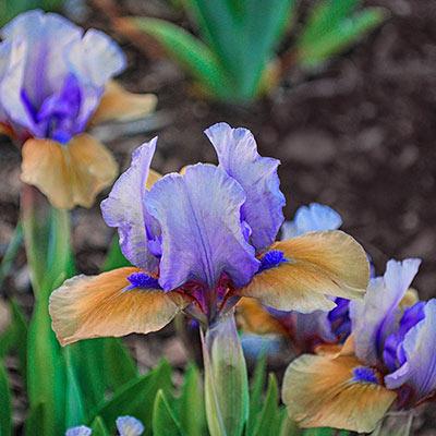 Blueberry Tart Reblooming Dwarf German Iris