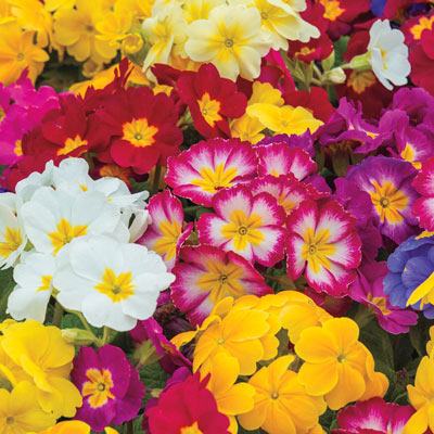 Mixed Hardy Primrose