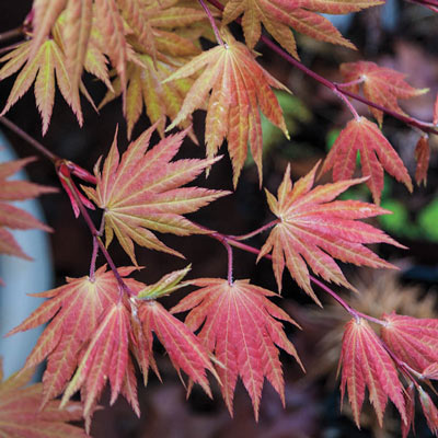 Moonrise Japanese Maple
