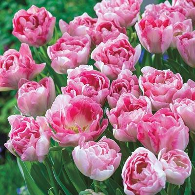 Angelique Tulip