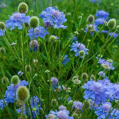 Butterfly Blue Scabiosa