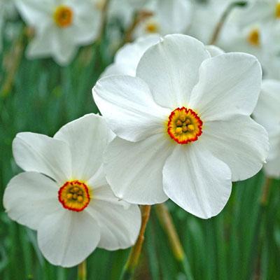 Poet's Daffodil