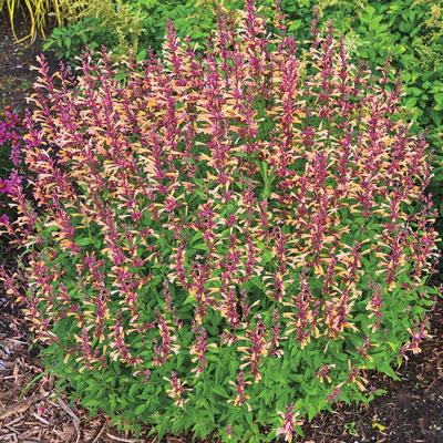 Peachie Keen Hummingbird Mint