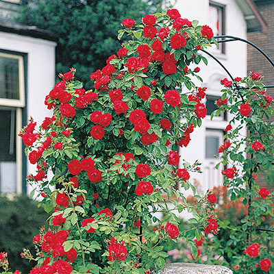 Blaze Improved Climbing Jumbo Rose
