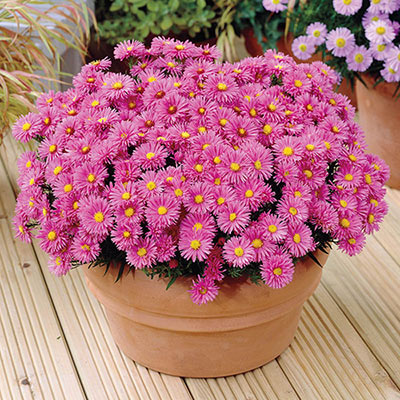 Wood's Pink Aster
