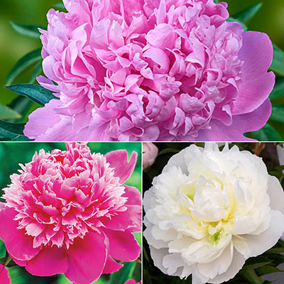 Most Fragrant Peony Collection
