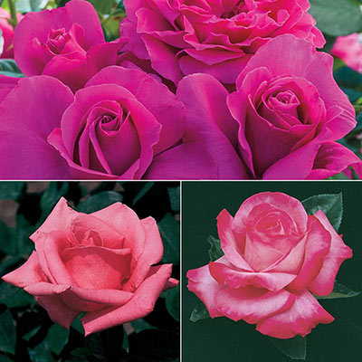 Pink Jumbo Rose Sampler