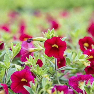 Hawaiian Luau Red Calibrachoa