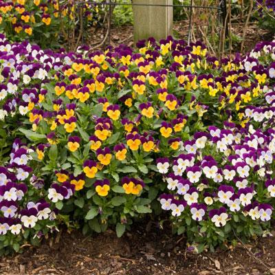 Tricolor Edible Viola