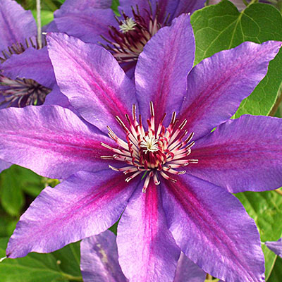 Clematis Starry Night Vancouver™
