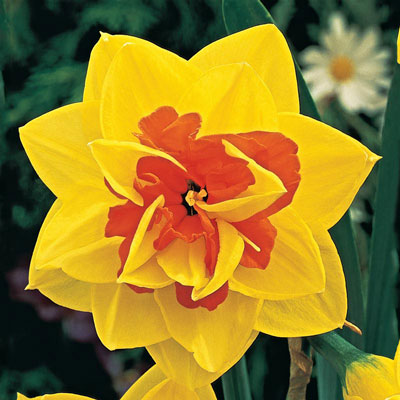Tahiti Double Daffodil