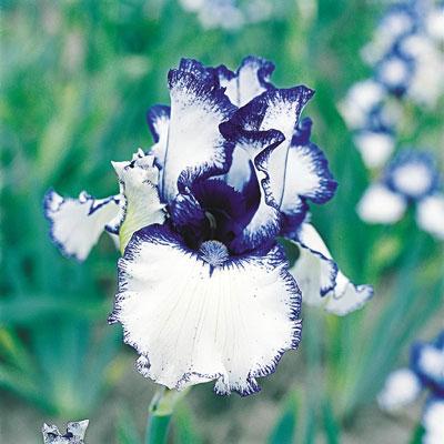 Oronico Flow German Iris
