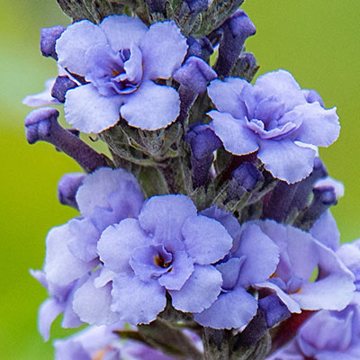 Blue Ribbon Buddleia