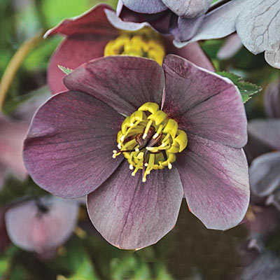 Honeymoon in Vegas Lenten Rose