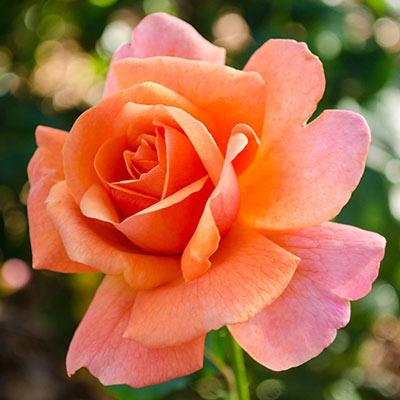 Easy Does It<sup>™</sup> Floribunda Rose